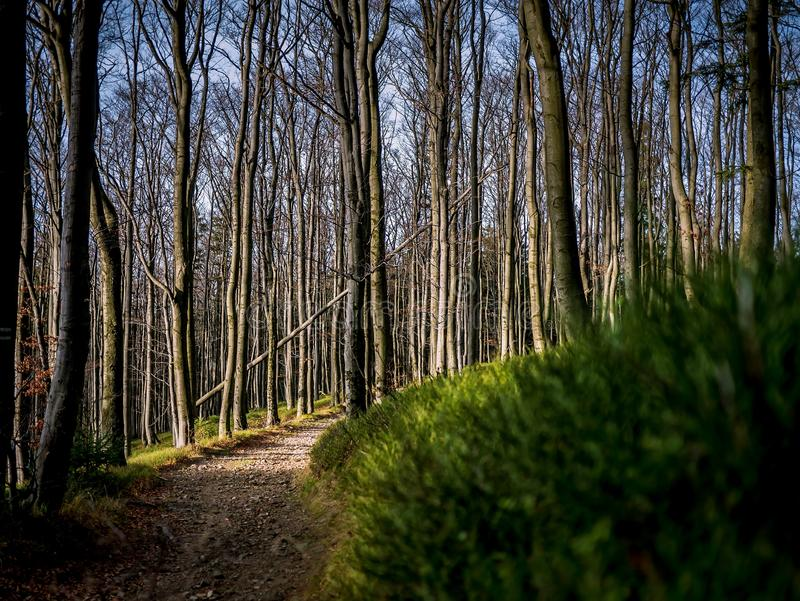 Path in dense forest. With bilberry royalty free stock photography
