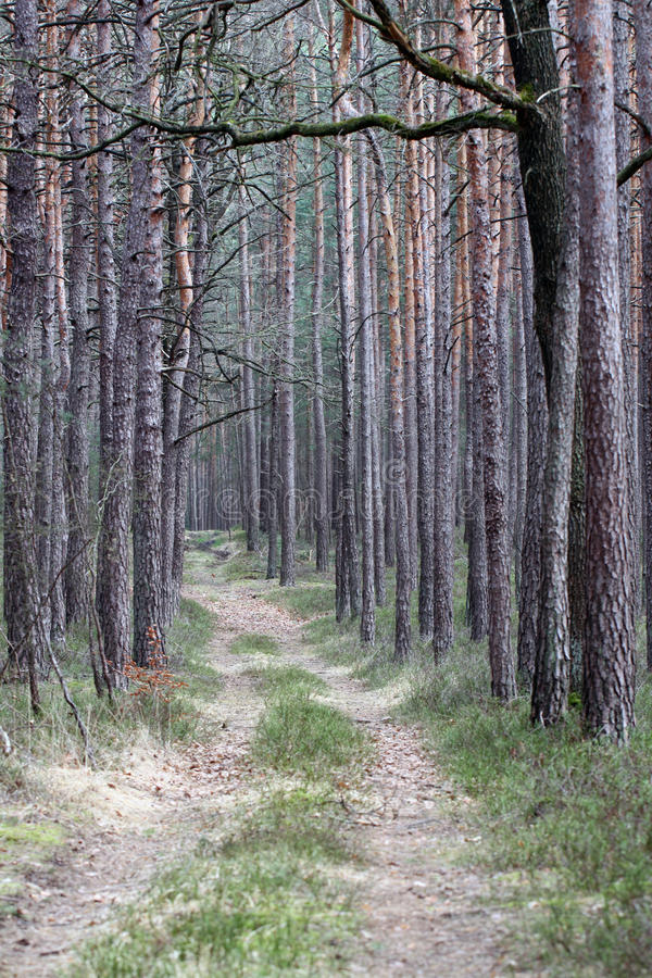Path through the dense forest. A path through the dense pine forest stock image
