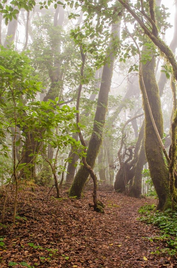 Path in El Cedro, laurel forest in La Gomera. Path in El Cedro, laurel forest(Garajonay National Park) in La Gomera, Canary islands, Spain royalty free stock images