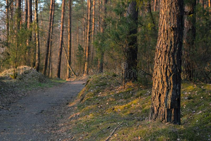 Path through European pine tree forest on a sunny day evening. Pine tree pattern background, preserving the woods.  royalty free stock photo
