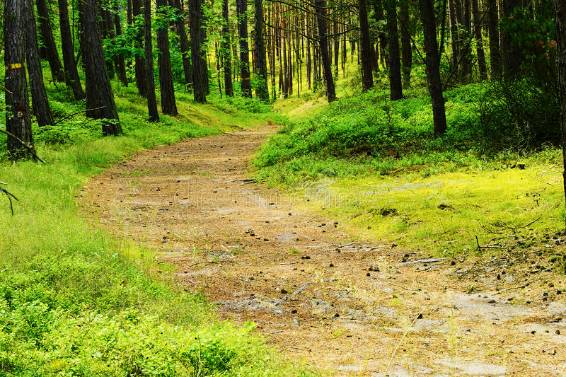 Path through evergreen coniferous forest. Pinewood with scots or scotch pine Pinus sylvestris trees. stock photography