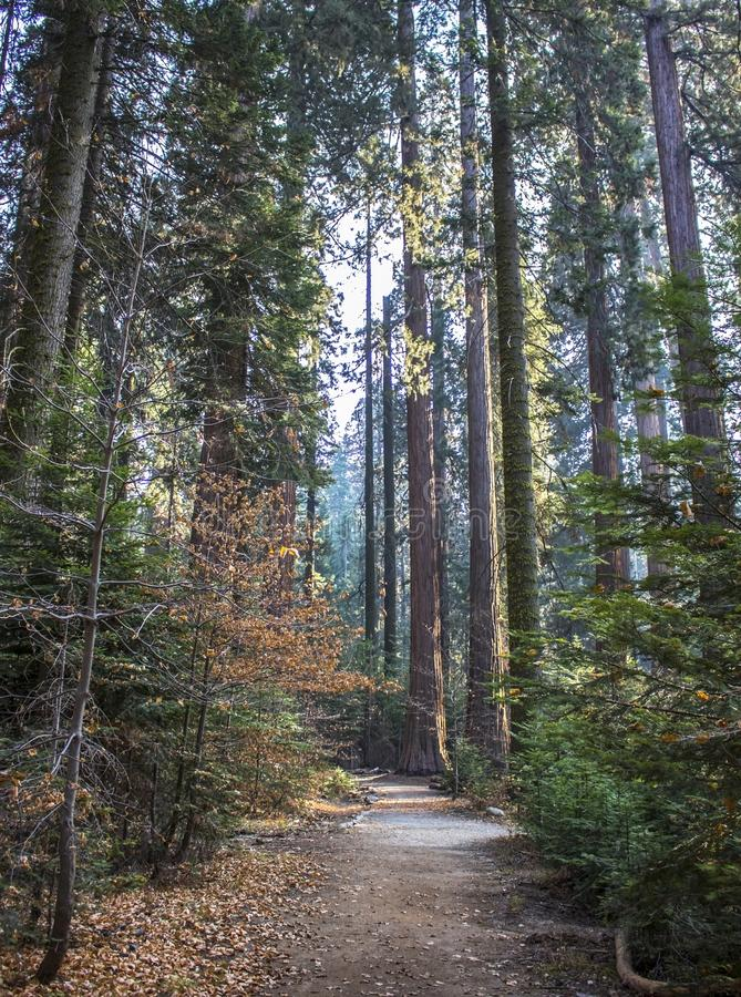 Path through Fall Forest with Trees in California Sierra Nevada. Path through pine forest in autumn with dogwood trees and Giant Sequoia Redwood trees along with stock photo