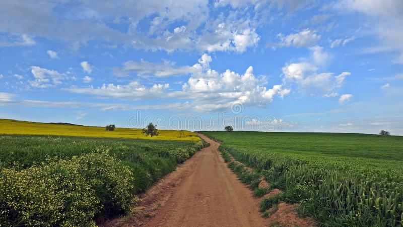 A path between fields of canola in bloom and wheat growing under the blue sky with clouds like cotton stock photography