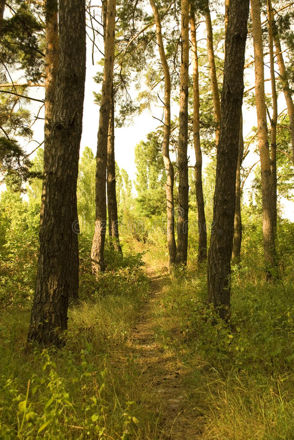 Path through a forest. Path through a sunlit pine forest stock images