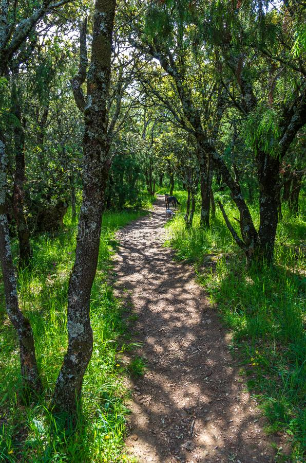 A path between the forest and the grass in spring stock image