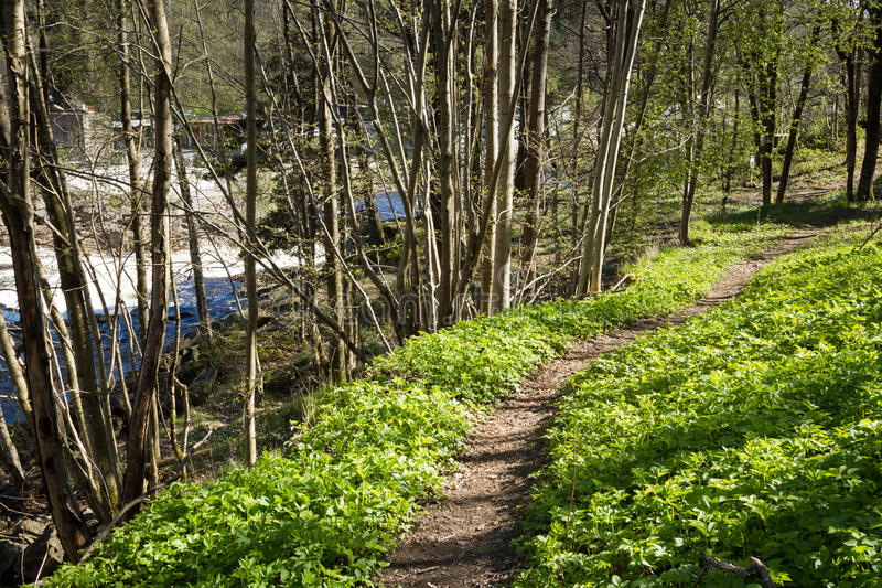 Path through the forest next to the salmon river Tovdalselva, in Kristiansand, Norway. Path through green spring vegetation in the forest next to the river stock image