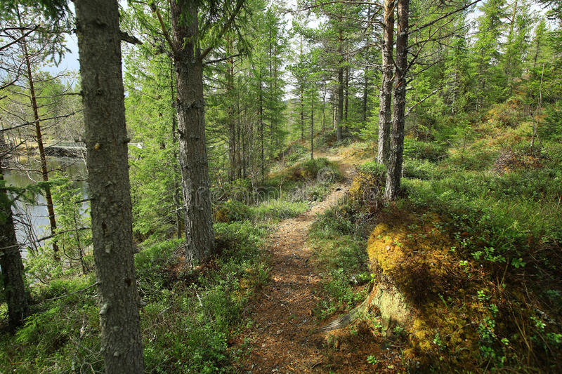 Path in the forest. Path in the pine forest in the spring stock images