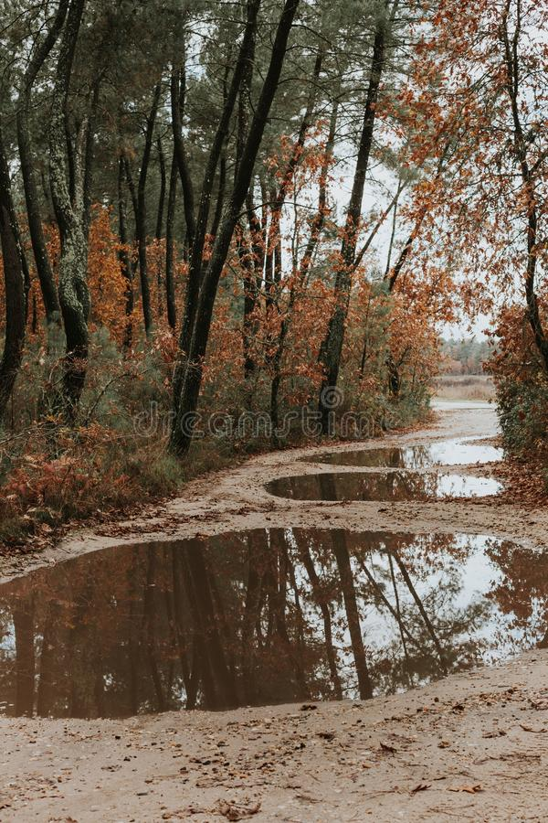 Path in the forest. Path with puddles in a pine forest stock images