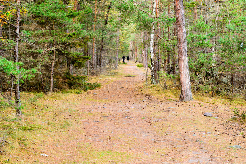 Path in forest. A straight hiking trail or path in pine forest in fall. The odd birch tree is mixed in with the pines. Pine needles are scattered on the trail stock image