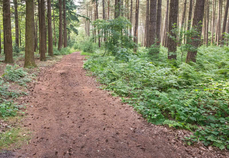 Path in the forest studded with pine cones. Forest path in the summer season with many pine cones and needles and ferns and herbs on the sides royalty free stock photos