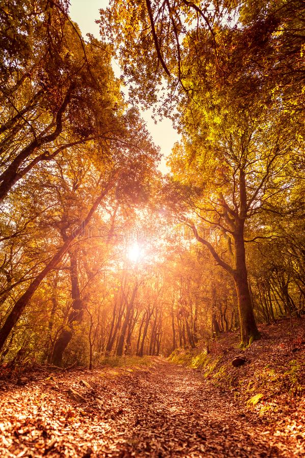 Path in a forest at sunset in autumn stock photo