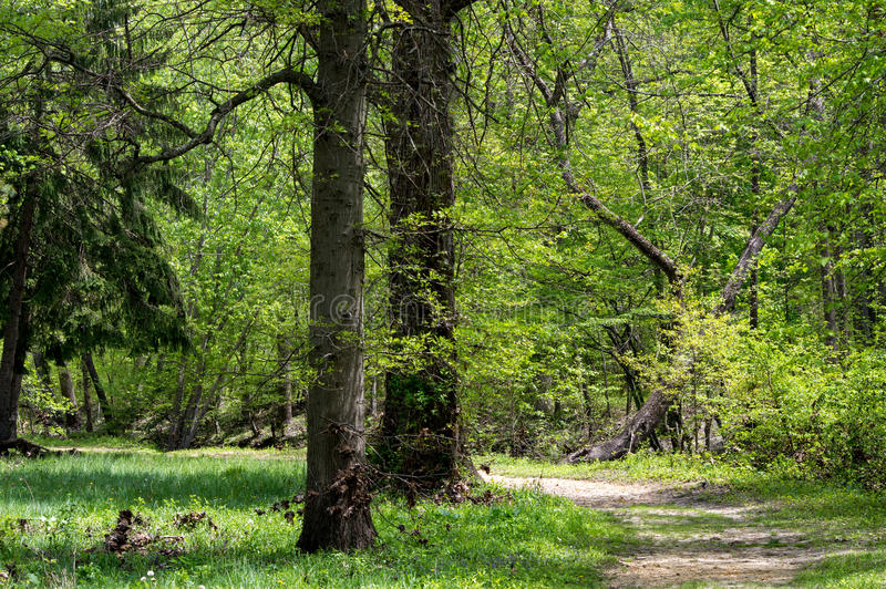 Path through the forest royalty free stock image