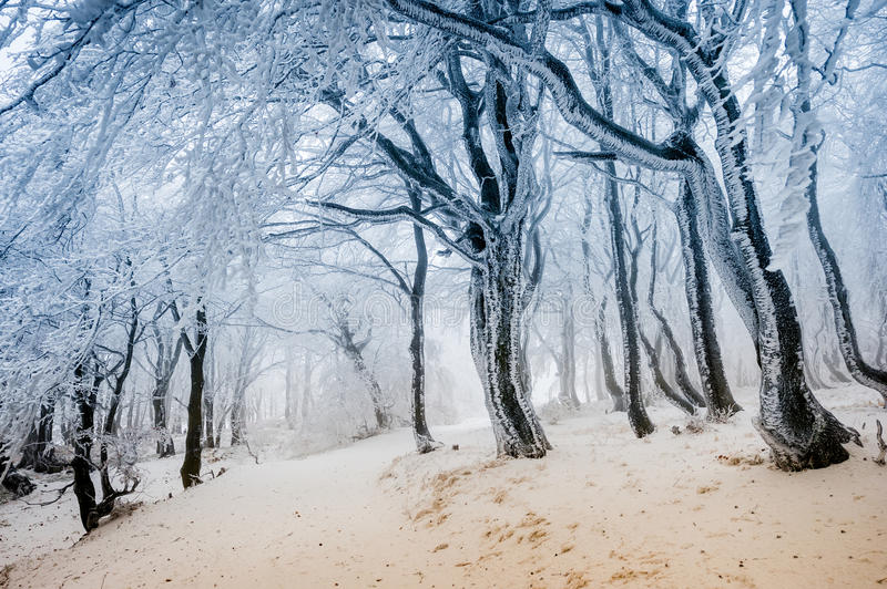 Path through the frost covered winter forest stock images