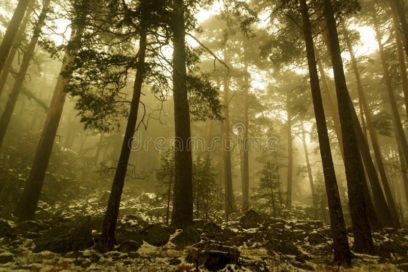 Snow in the pine forest. Mysterious scene. Path through a golden forest with fog and warm light. Snow in the pine forest. Mysterious scene stock photos