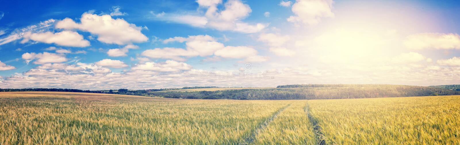 Path through Golden wheat field, perfect blue sky. majestic rural landscape. Harvest concept. soft light effect. instagram toning filter royalty free stock photo