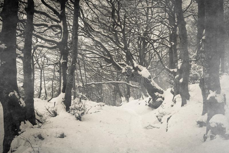 Path on gothic forest with snow of Monte Cucco in Umbria stock photography