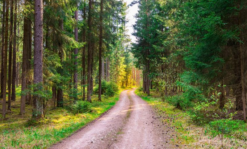Path in green pine trees forest with sunshine at the end. Evergreen trees nature woodland with dirt road and beautiful sunlight at the end of path royalty free stock photo