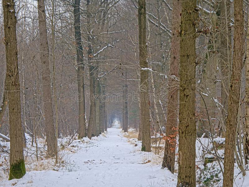 Path through a hazy pine forest covered in snow royalty free stock photos