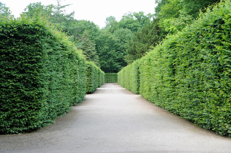 Path between hedges. With green foliage royalty free stock images