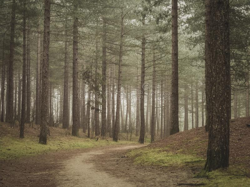 Path leading around corner through pine forest. fairy tale like. Straight pine trees around a path in an early morning forest stock images