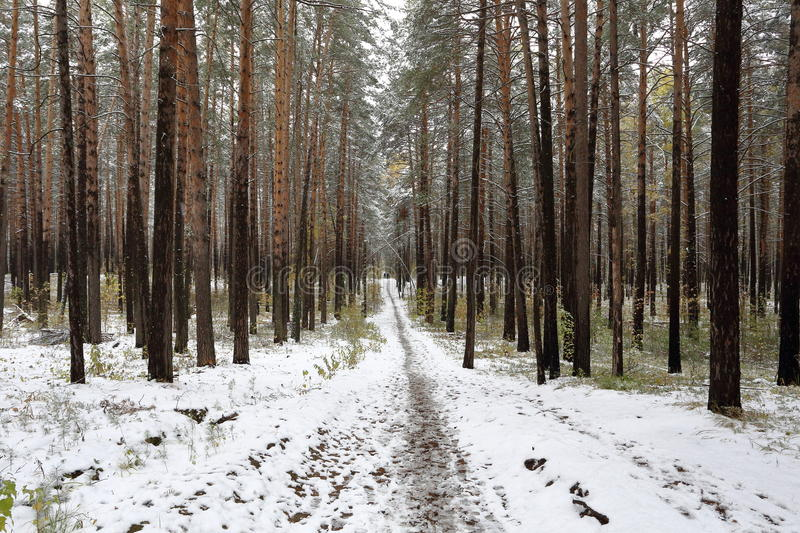 A path leading into the depths of winter pine forest. A beautiful pine forest in winter. Newly-fallen snow is around. A calming silence. In front of us a path stock images