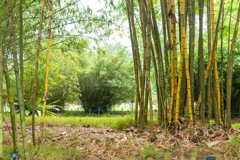 Path leading through natural green bamboo garden forest. Path through natural green bamboo garden forest stock photo
