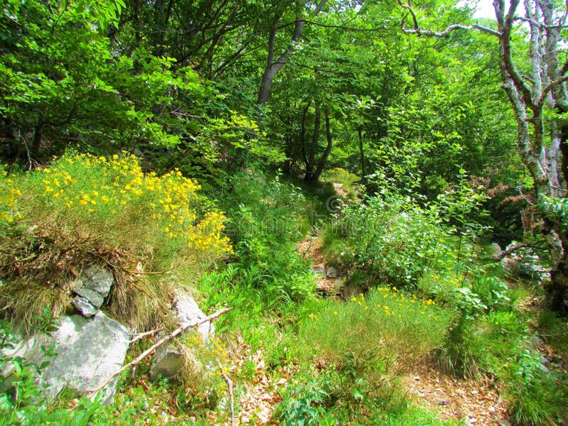 Path leading past a forest clearing with Genista radiata flowers royalty free stock photography