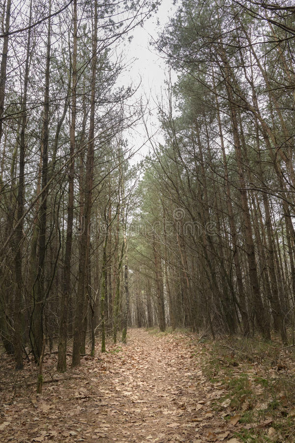 Path leading through pine forest giving alone and dark feel landscape royalty free stock image