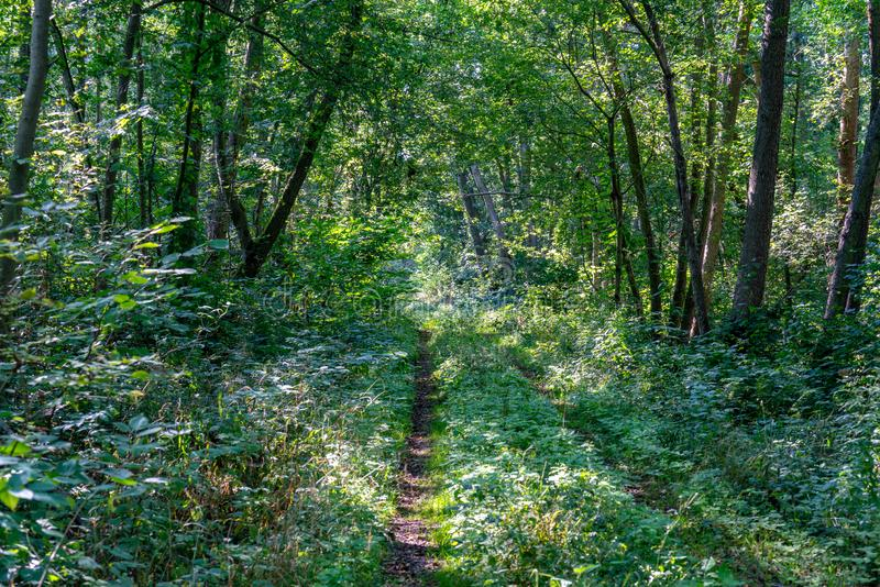 Path leading through a very lush green forest with rays of sunshine through the trees stock image