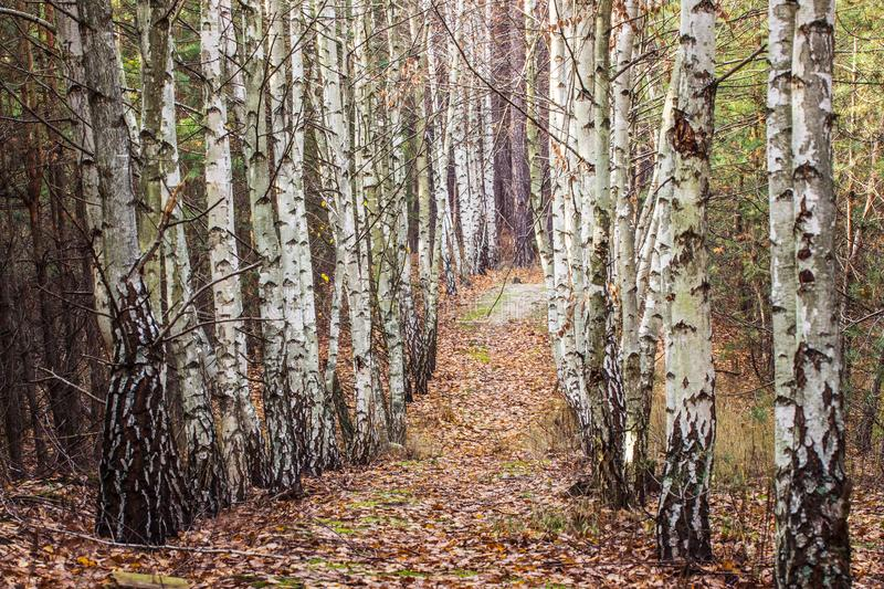 Path leads through a birch grove resting in a pine forest. Path leads along a birch grove resting in a pine forest brightly and beautifully royalty free stock photos