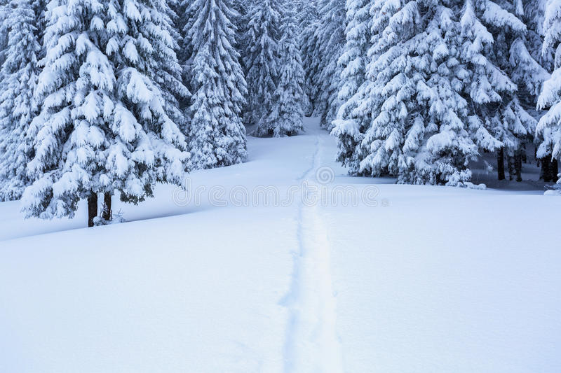The path leads to the snowy forest. On the lawn covered with white snow there is a trampled path that lead to the dense forest in nice winter day stock photos