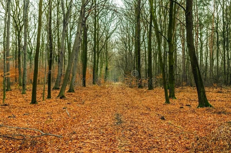 Path of leaves in the winter forest. royalty free stock image