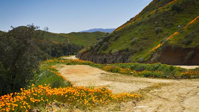 Path lined with california golden poppies stock photos