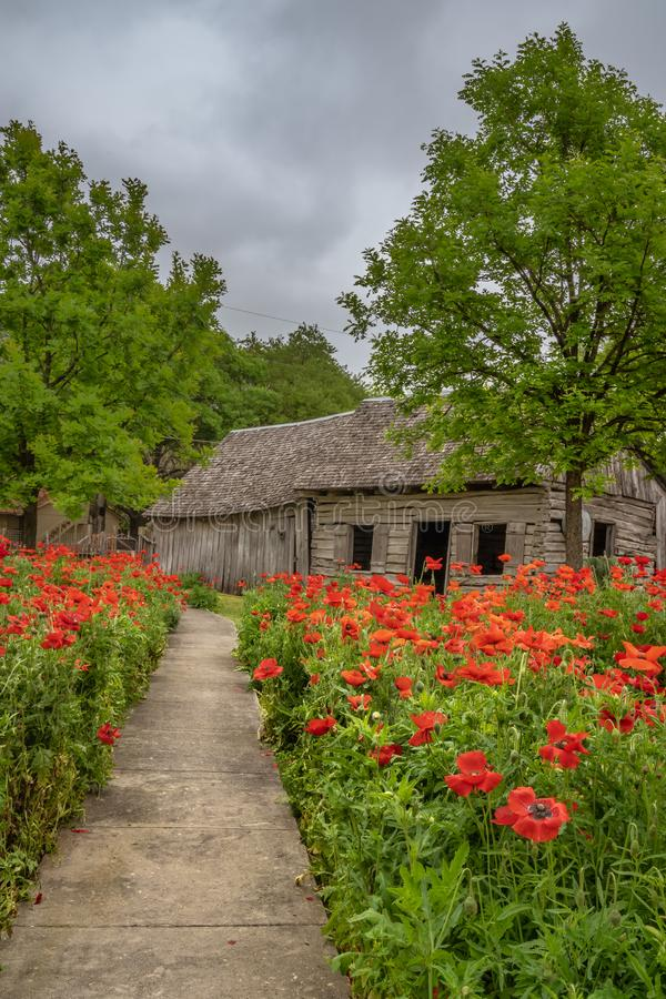 Path lined with red poppies leading building. Path lined with red poppies leading to an old rustic wooden building royalty free stock images