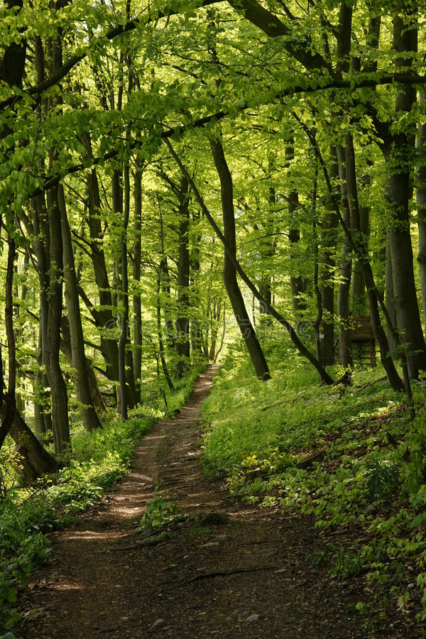 Download A Path Through A Lush Green Forrest Stock Image - Image of sunny, path: 5344333