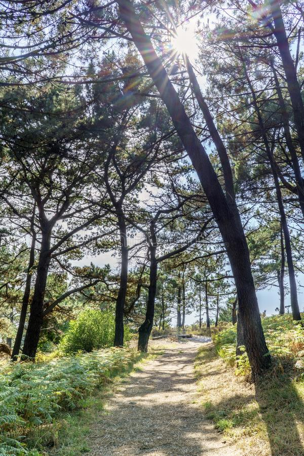 Path in the middle of a pine forest with the ground full of fern. S and backlit with a view of the sun royalty free stock photos