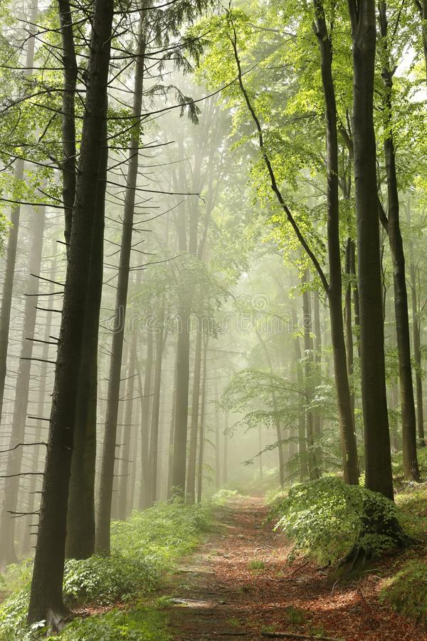 Path through a misty autumn forest in the sunshine stock photo