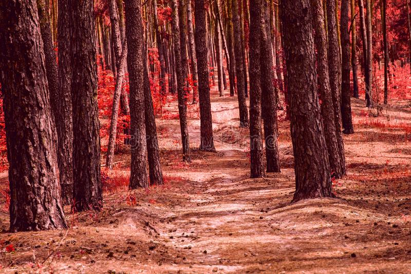 Path in a mystical autumn forest with trunks of tall pine trees with fallen cones. And a backlit trail no one around an exciting wilderness stock photography