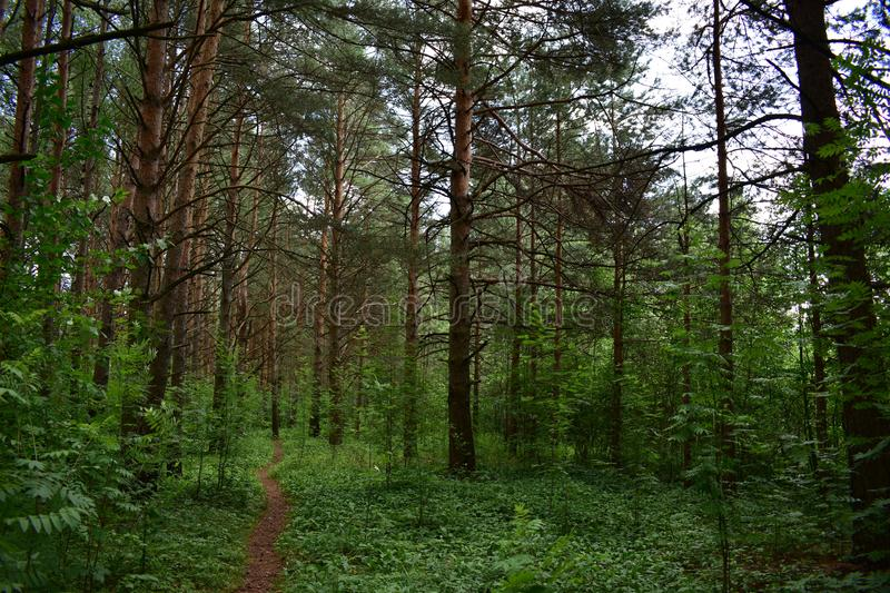 The path in a pine coniferous grove is an array of long-coniferous relict pine. Track usaasa among natural forest stock image