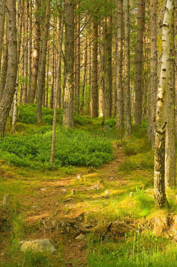 A path through the Pine forest. An image of a path leading into the forest of Pine trees with sunshine lighting an area in the foreground stock photos