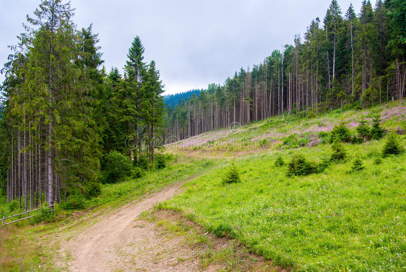 Path in the pine forest. Carpathian stock images