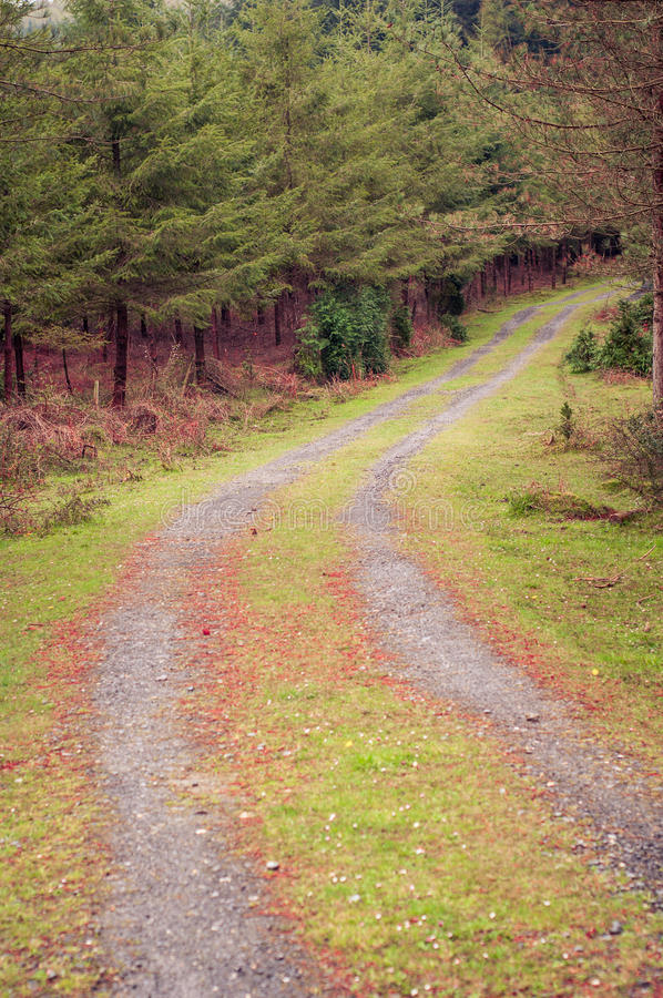 Path in a pine forest. Autumn colors. Path in a pine forest in autumn royalty free stock photography