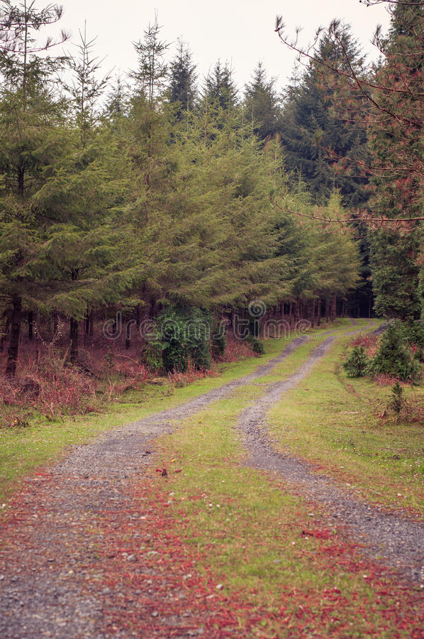 Path in a pine forest. Autumn colors. Path in a pine forest in autumn stock photos