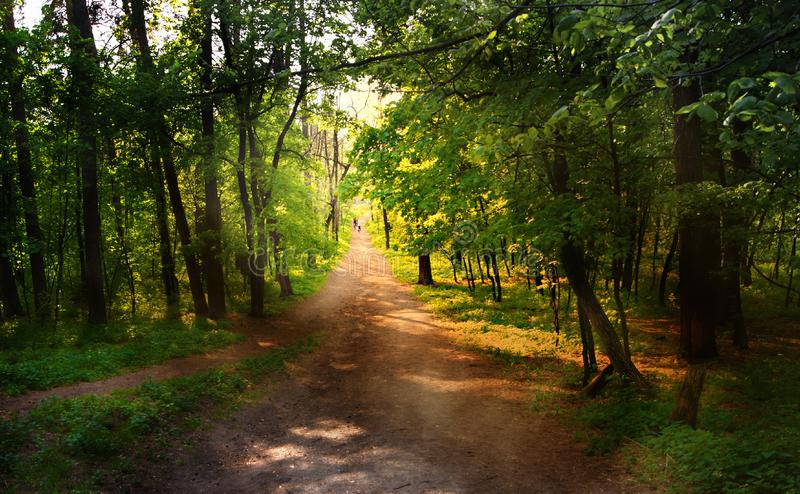 Path in the pine forest. Deserted path in the pine forest royalty free stock photo