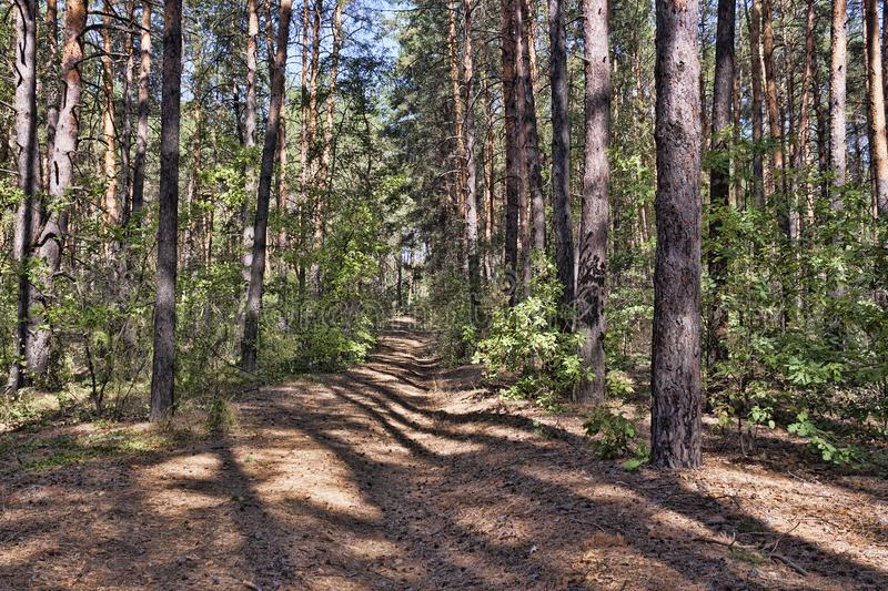 Path in the pine forest. In early autumn royalty free stock photography