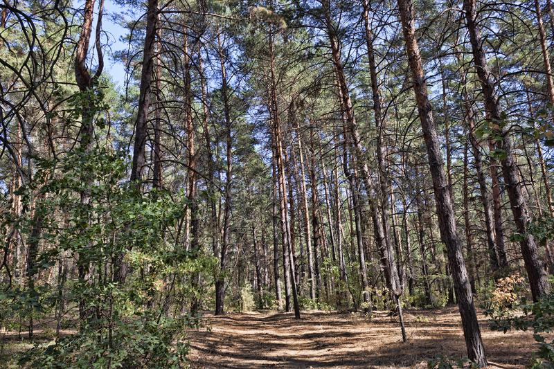 Path in the pine forest. In early autumn royalty free stock images