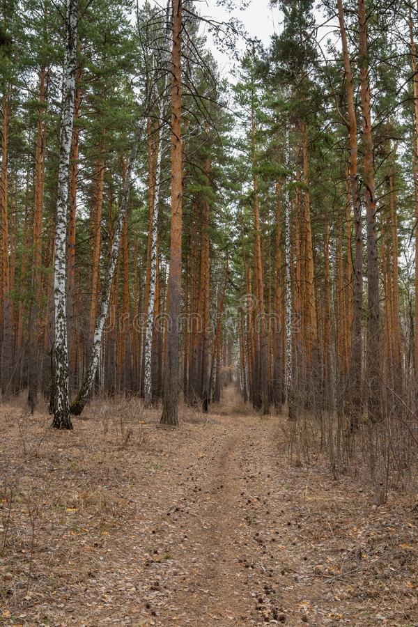 Path in the pine forest in early spring. Footpath in the pine forest in the early spring royalty free stock images