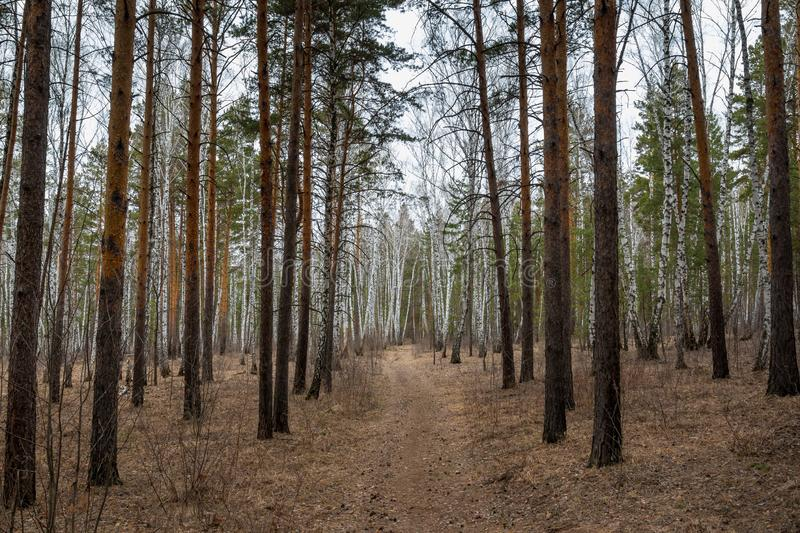 Path in the pine forest in early spring. Footpath in the pine forest in the early spring stock images