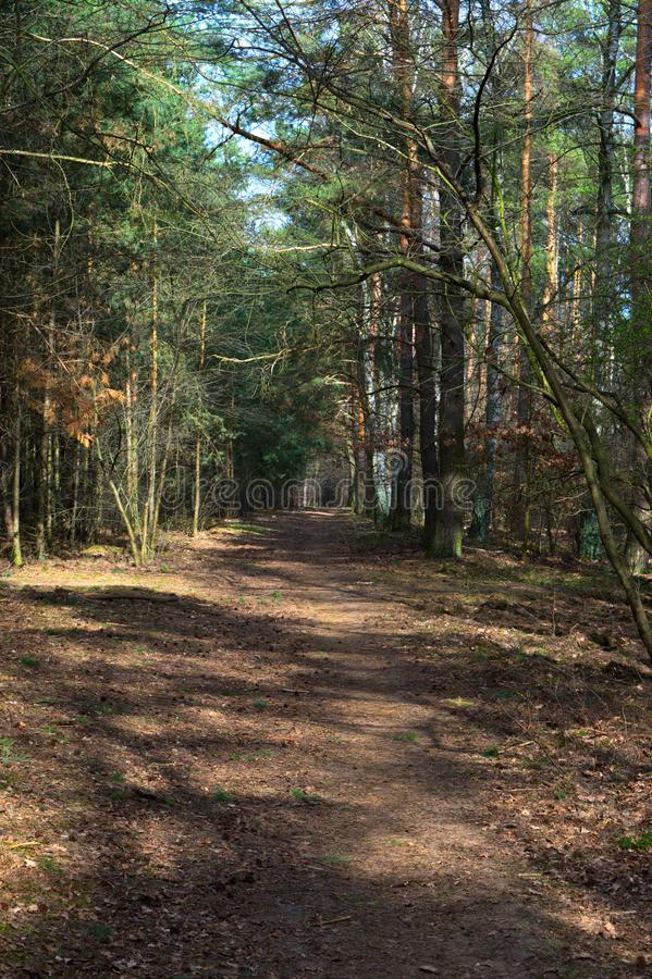 Path in pine forest. Empty dirt path in pine forest in early spring. Poznan, Poland royalty free stock images