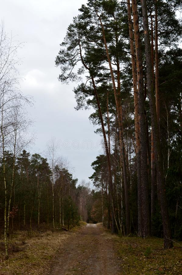 Path in pine forest. Empty dirt path in pine forest in early spring. Poznan, Poland royalty free stock photo